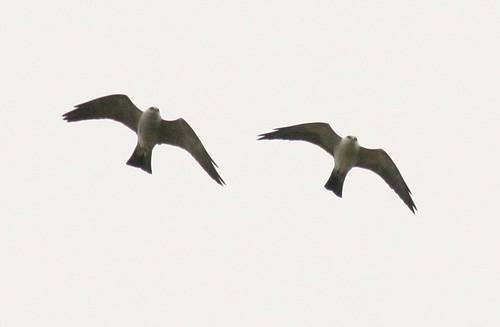 Mississippi Kites - 4/16/2009
