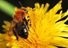 Working Together (Paul:Ritchie) Tags: macro nature animals insect golden nikon bokeh hampshire dandelion bee explore d60 sigma105mmmacro april2009 paulritchie vosplusbellesphotos thelizardwizard
