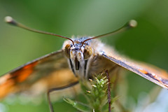 Butterfly macro of Painted Lady - Vanessa cardui (Casey Myers Photograph