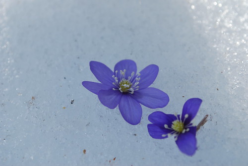 hepatica in snow