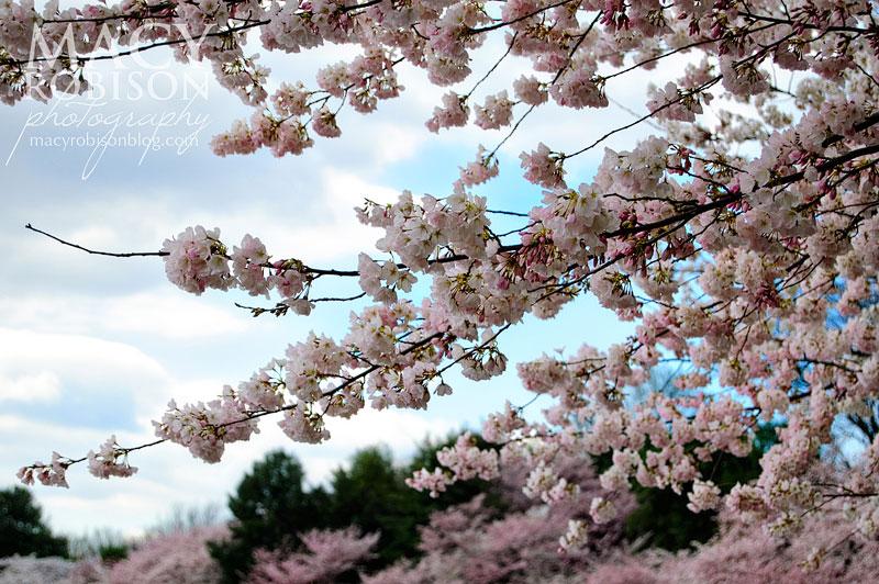 Cherry Blossom Festival - 1