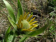 Balsamroot Unfurling (rooftop65) Tags: oregon spring wildflowers columbiarivergorge rowena balsamroot balsamorhizasagittata arrowleafbalsamroot tommccallpreserve