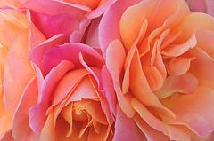 Rose Macro - IMG_7063 (Bahman Farzad) Tags: macro rose closeup upclose rosemacro macrorose closeuprose rosecloseup