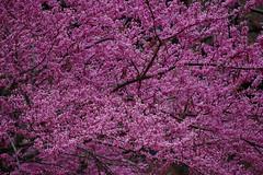 pretty in purple (Johnny Heger) Tags: college campus illinois spring universityofillinois urbana champaign uofi chipsi