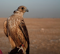 ( ) Tags: canon hunting falcon 5d fav falcons