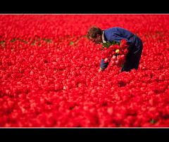 At Work In A Sea Of Scarlet (Jeff Milsteen) Tags: red holland jeff netherlands scarlet landscape tulips explore fields worker frontpage picker dezilk abigfave jlmphoto removingthebadones milsteen