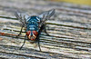I'm Watching You (alphazeta) Tags: wood insect fly wings eyes colours turquoise critter details