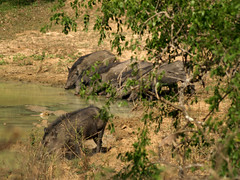 Warthogs In A Row - Yala National Park
