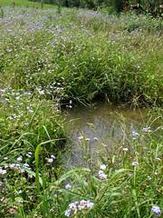 田裡湧出水-呈現沼澤狀態 2009-5-10