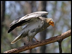Egyptian Vulture (Neophron percnopterus) spotted in Ranikhet, India (Saran Vaid) Tags: wild india bird nature beautiful beauty birds fauna canon born high scary dangerous wings eyes asia glare dof bokeh wildlife indian birding beak feathers free evil sigma aves crest best hills safari raptor egyptian prey vulture elegant soe span quill spotting birdofprey omen scavenger sighting ranikhet accipitridae neophronpercnopterus egyptianvulture uttarakhand flickrsbest bej specanimal mywinners canoneos400d platinumphoto avianexcellence flickrdiamond theunforgettablepictures sigma150500 sigma150500mmf563dgoshsm worldclassnaturephoto