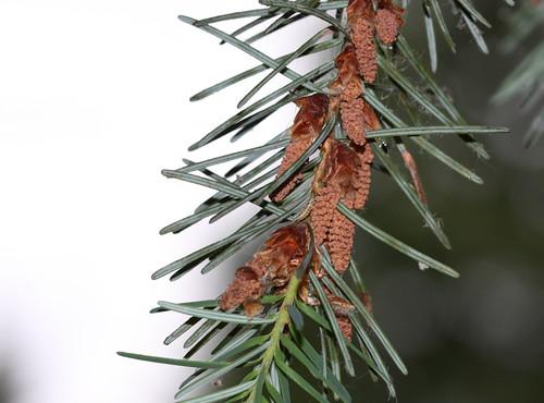Coniferophyta