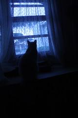 Gato Branco (f.izidro) Tags: blue cat outside looking blueeyes free liberdade gato curtains janela whitecat observando preso olhando curtinas gatobranco