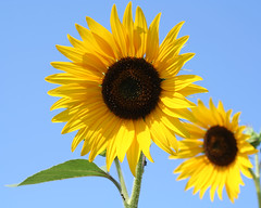 [フリー画像] [花/フラワー] [向日葵/ヒマワリ] [イエロー/花]        [フリー素材]