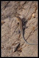 Lagartija Cabo de Gata (scarabaeus sacer) Tags: 9 verano 2009 almería cabodegata cabodegatanijar nikond300 jatm64