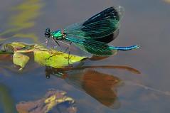 weidebeekjuffer (winschoter) Tags: macro closeup dragonflies insects insekten damselflies libellen darters juffers waterjuffers