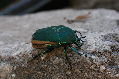 Please ID this awesome Beetle!