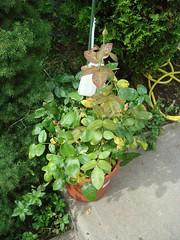 Paradise rose bush with black spot