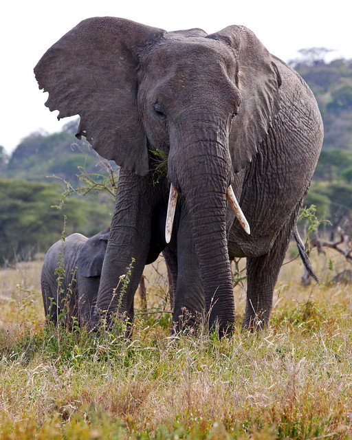Elephant with Baby in Ngorongoro Conservation Area