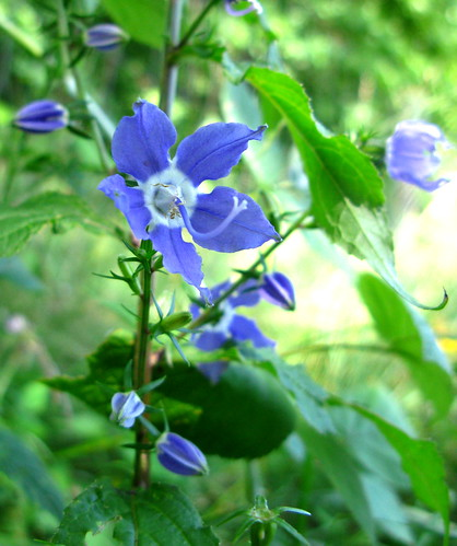 Tall Bellflower Blossom