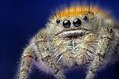 Subadult Female Phidippus apacheanus (Mundo Poco) Tags: arizona macro canon spider arachnid jumpingspider salticid santacruzcounty phidippus salticidae mpe65mm eos450d specanimal phidippusapacheanus specanimalphotooftheday specinsect rebelxsi