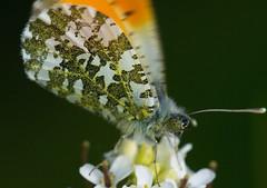 Take off.....!  -  Oranjetip - Anthocharis cardamines (pwsonline) Tags: macro closeup pentax vlinder anthochariscardamines oranjetip k20d pentaxk20d pwsonline sigma180mmmacroexhsm