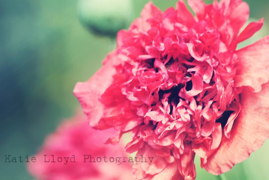 poppy---pink-2