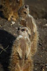 Playing innocent (Otomodachi) Tags: family cute animals zoo meerkat funny familie innocent dieren sunbathing burgerszoo lief stokstaartje dierentuin meerkats grappig stokstaartjes schattig zonnen onthelookout onschuldig opdeuitkijk