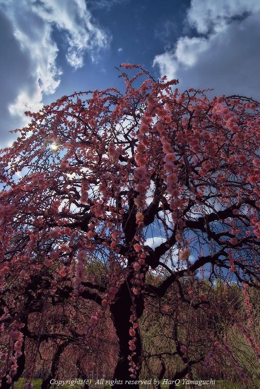 A Plum Blooms