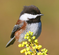Bad Hair Day (janruss) Tags: bird avian chickadee chestnutbackedchickadee explore explorefrontpage specanimal avianexcellence naturesfinest alittlebeauty world100f citrit platinumphoto rubyphotographer abigfave blueribbonwinner birdwatcher fab multimegashot fbdg theperfectphotographer goldstaraward impressedbeauty searchthebest flickrsbest superperfectphotographer fantasticwildlife goldenheartaward supershot 100commentgroup ahqmacro bravo vosplusbellesphotos trueessence grouplife wildfirewildlife outstandingshotshighlight 14karatgold 24karatgold outstandingshots janruss janinerussell photoshopcreativo ngc bestofmywinners magicunicornverybest magicunicornmasterpiece 4timesasnice 5timesasnice tripleniceshot doublyniceshot allofnatureswildlifelevel1 colorphotoaward allofnatureswildlifelevel2 allofnatureswildlifelevel3