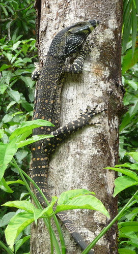 spotted tree monitor