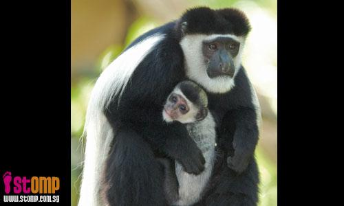 First colobus baby for Singapore Zoo after 12 years' hiatus