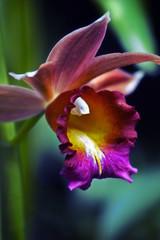 Orchid yawning (alan shapiro photography) Tags: orchid flower closeup colorful orchidshow interestingshot nybotanicalgardens colorphotoaward wonderfulworldofflowers awesomeblossoms ashapiro515 2010alanshapiro alanshapirophotography wwwalanwshapiroblogspotcom 2010alanshapirophotography