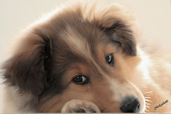 Taking a break! (Chickadee (Carole)) Tags: dog chien cute male puppy fur relax sheltie fluffy buffy chiot blueribbonwinner 2monthold anawesomeshot impressedbeauty aplusphoto platinumheartaward chickadeed goldenheartaward