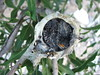Hummingbird Babies in Their Nest