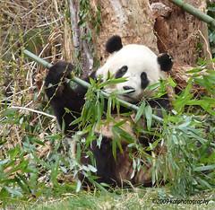 Tai Shan Photo #2 (kafphotography) Tags: usa washingtondc panda nationalzoo thechallengegame pfosilver herowinner