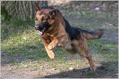 Schäferhund-im-Sprung