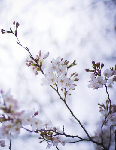 13092 : Sakura2009 #3