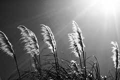 Seasons In The Sun (kellinasf) Tags: sun grass hope rays backlit sole oneword project365 contraluce blackwhitephotos artlegacy flickraward 365community