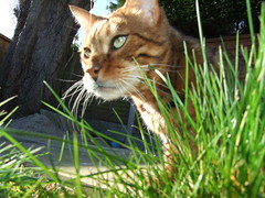 tiger (Lisa Katherine Lenore Brown) Tags: tree grass cat outside pretty stripes tiger hunting sunny