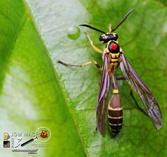 Jom Macro III : Wasp