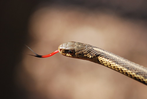 Garter Snake with tongue out