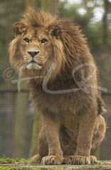 Barbary / Atlas Lion (frank_reid_photographer) Tags: kent lion atlas safaripark barbary portlympne flickrbigcats