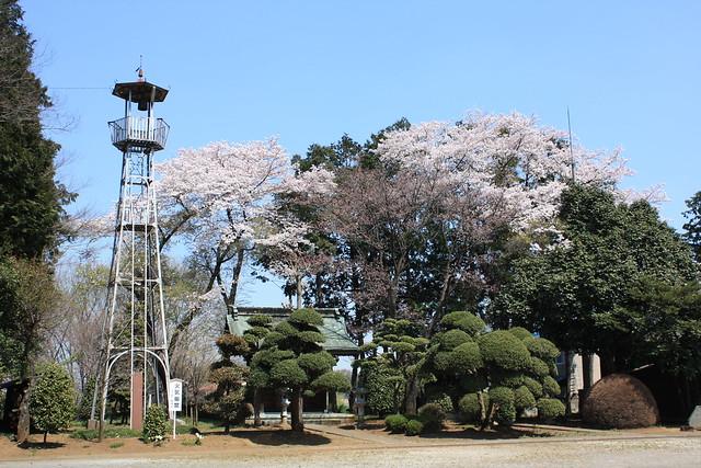 三ヶ島八幡の火の見櫓(所沢市):桜