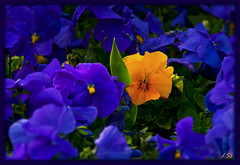 When The Sun Rises (Kuzeytac) Tags: park blue orange sun flower color colour green nature yellow turkey garden geotagged leaf spring violet istanbul explore bud bahçe frontpage geotag mavi mor leyla bahar çiçek yeşil güneş sarı lsi pansey ışık portakal yaprak doğa tabiat ilkbahar menekşe hercai turuncu canon70300isusm fantasticflower gülhane canoneos400d canoneosdigitalrebelxti colorphotoaward kuzeytac copyrightedallrightsreserved formyitalianfriends aqualityonlyclub