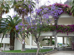 Jacaranda tree (howard.carshalton) Tags: tenerife jacaranda
