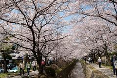 日本 京都 櫻