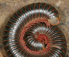 Really big Millipede (cotinis) Tags: northcarolina piedmont millipede parasite mite arthropod enoriver eol myriapod narceusamericanus myriapoda diplopoda canonef100mmf28macrousm narceus americangiantmillipede chilognatha americanmillipede northamericanmillipede narceusamericanusannulariscomplex narceussp northamericangiantmillipede spirobolida spirobolidae giantamericanmillipede helminthomorpha giantnorthamericanmillipede taxonomy:binomial=narceusamericanus millipedemite