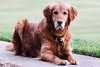 Bailey on the Sidewalk (thisisbrianfisher) Tags: dog pet dawg look grass animal outside golden spring outdoor brian retriever bailey fisher surprised leash collar pooch gaze bfish brianfisher thisisbrianfisher