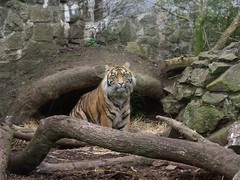 Sumatran Tiger at Edinburgh Zoo (sjcockell) Tags: holiday tiger sotland edinburghzoo oban09