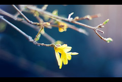 Forsythia (Pat Kilkenny) Tags: flower yellow canon spring bokeh forsythia bloom april 2009 hbw canon40d patkilkenny